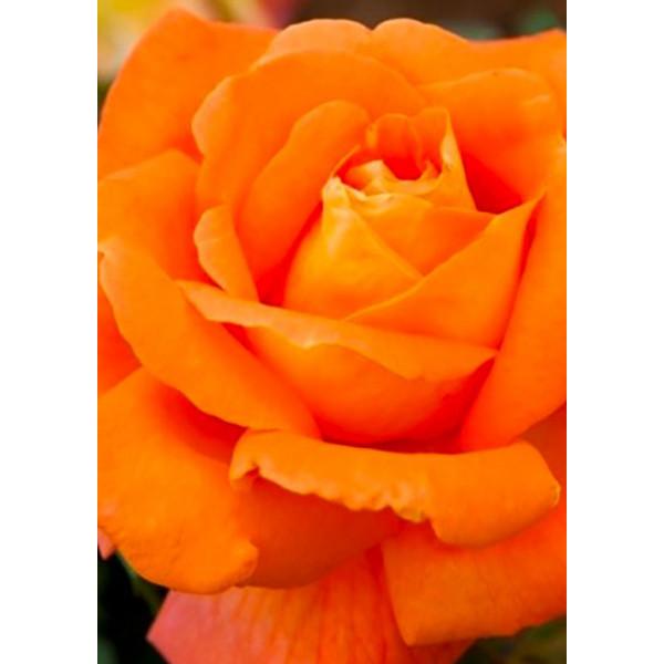 Роза спрей Алегрия