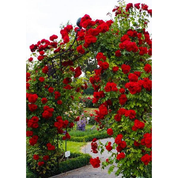 Роза плетистая Ван Лав