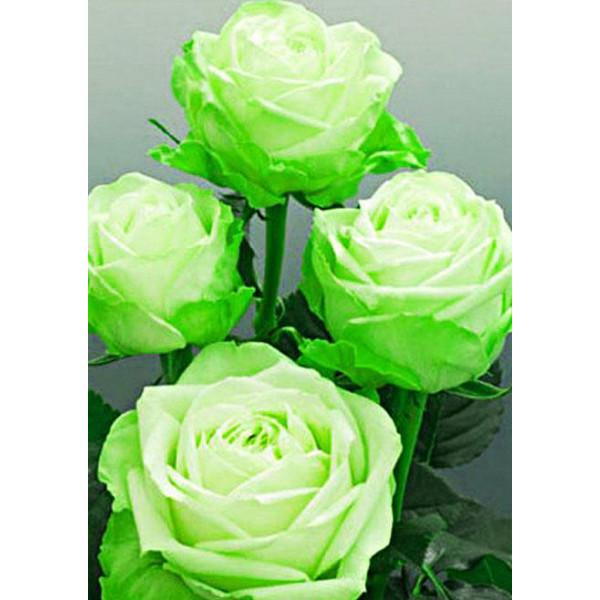 Роза чайно-гибридная Лимбо