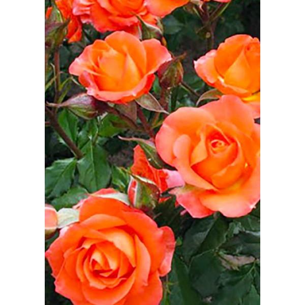 Роза чайно-гибридная Нобилис