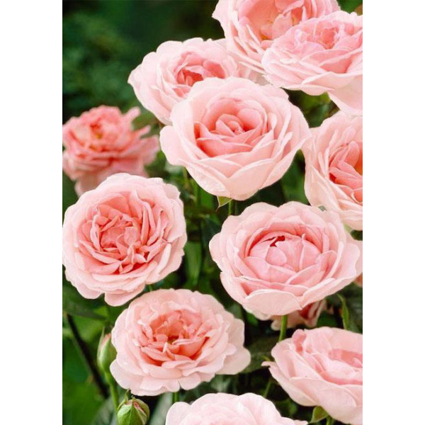Роза флорибунда Мария Тереза